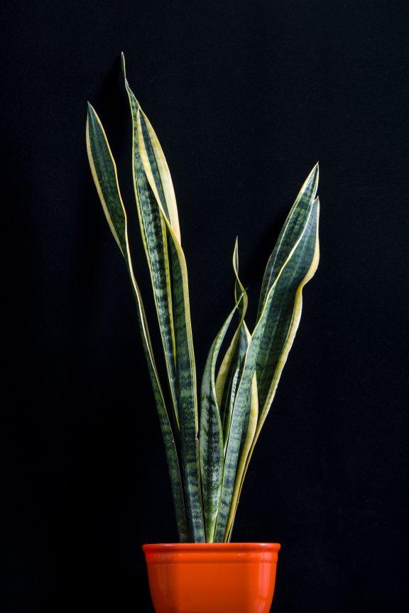 snake plant1.jpg